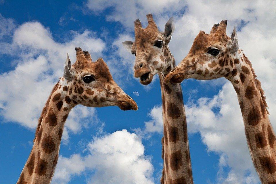 Girafes, Entertainment, Discussion, Hauteur, Talk